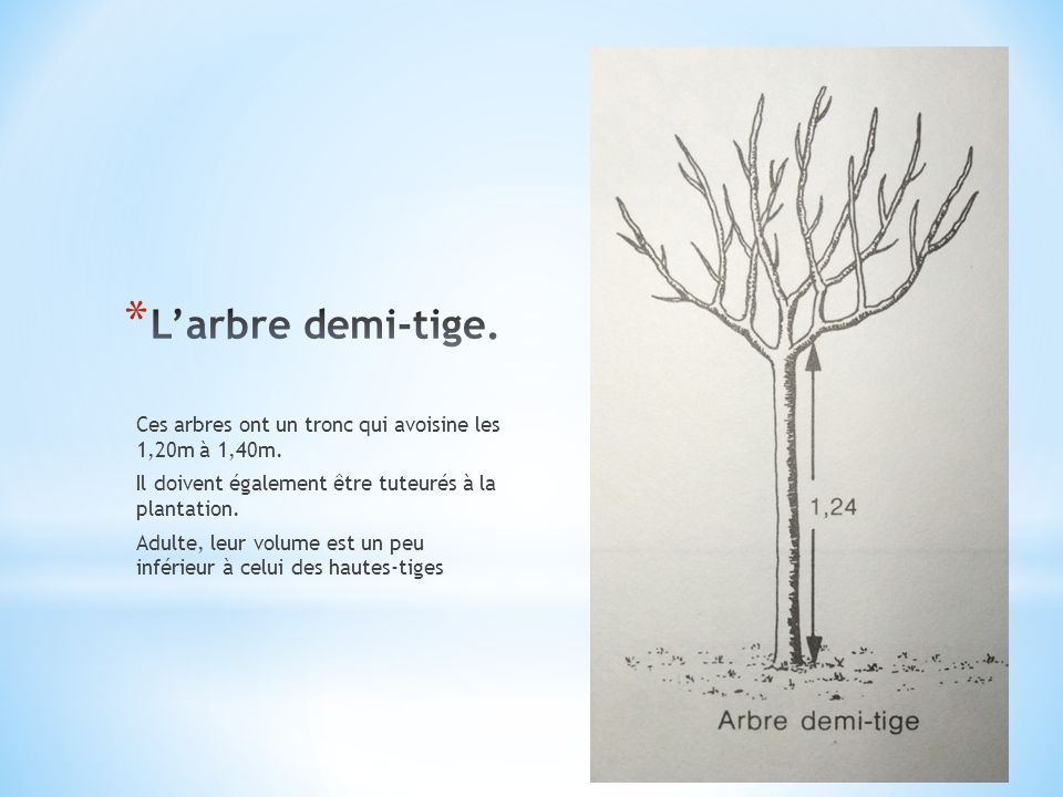 Ces arbres ont un tronc qui avoisine les 1,20m à 1,40m. Il doivent également être tuteurés à la plantation. Adulte, leur volume est un peu inférieur à