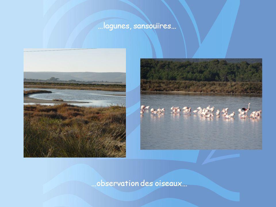 …observation des oiseaux… …lagunes, sansouïres…