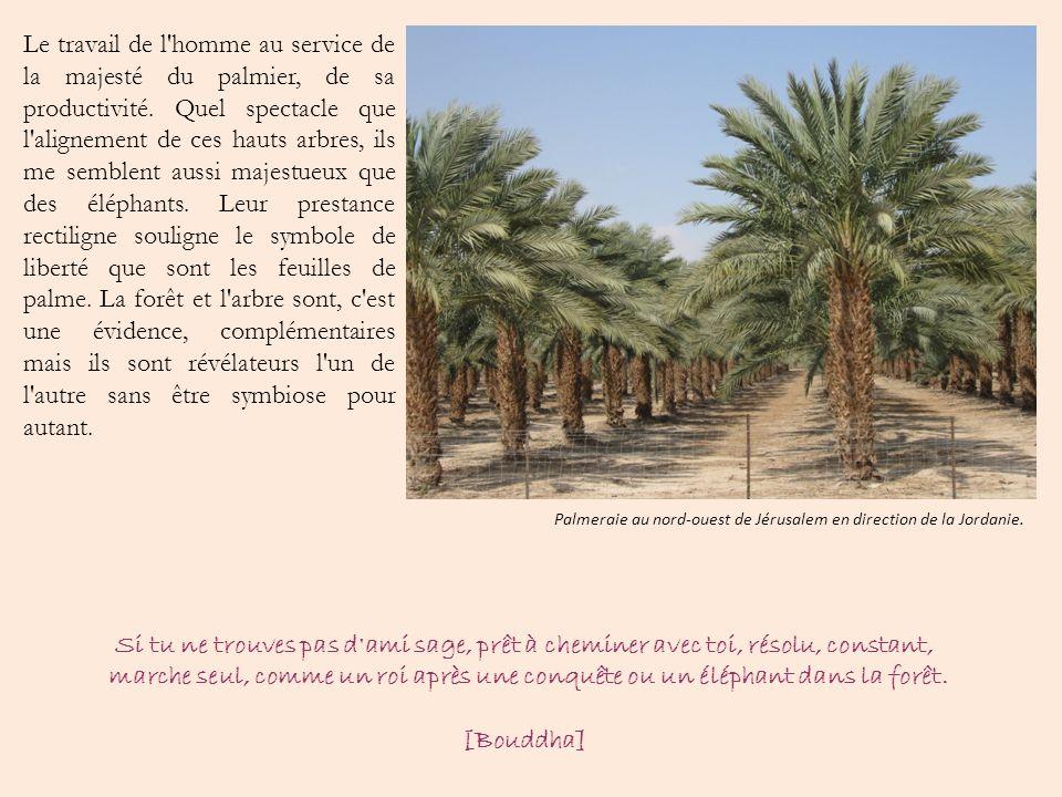 Le travail de l'homme au service de la majesté du palmier, de sa productivité. Quel spectacle que l'alignement de ces hauts arbres, ils me semblent au