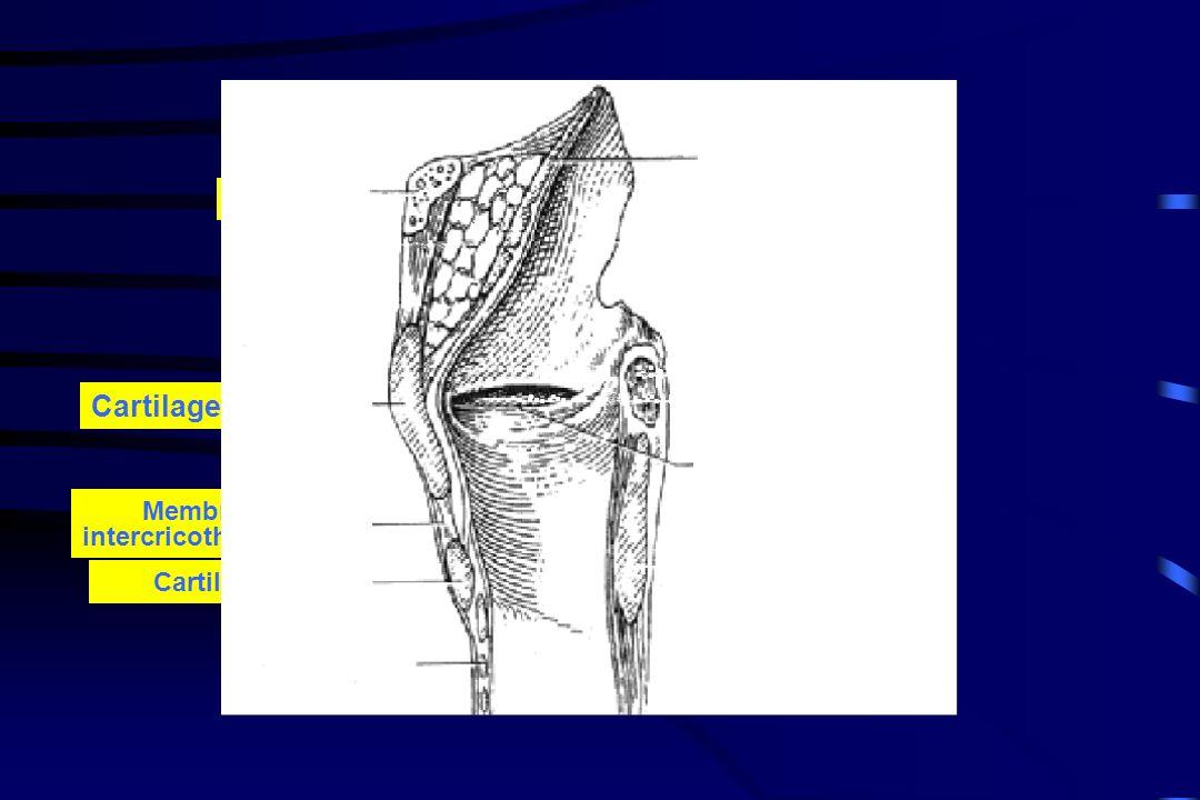 Os hyoïde Cartilage thyroïde Membrane intercricothyroïdienne Cartilage cricoïde Trachée Cordes vocales Épiglotte