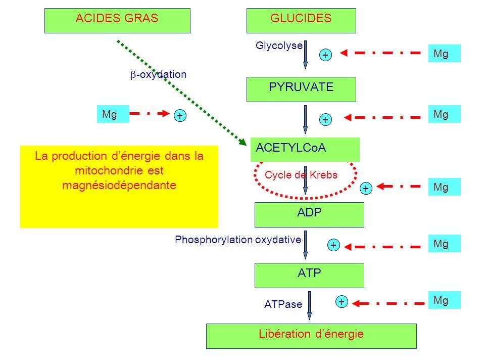 GLUCIDES PYRUVATE ADP ATP + + + + Mg ACETYLCoA Glycolyse Cycle de Krebs Phosphorylation oxydative Libération dénergie ATPase + Mg ACIDES GRAS -oxydati