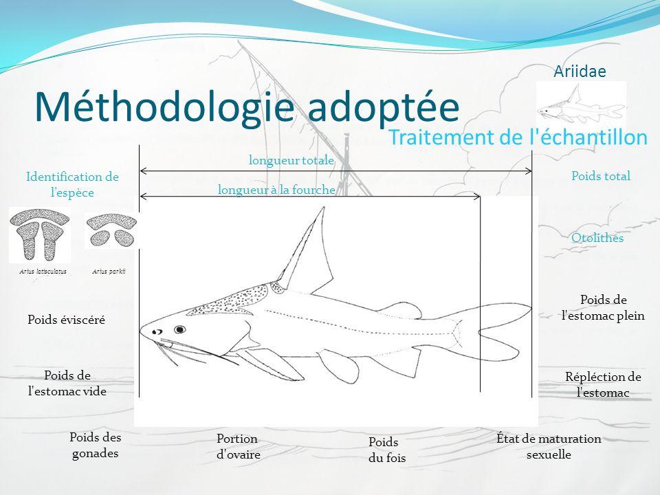 Méthodologie adoptée Ariidae Traitement de l'échantillon longueur à la fourche longueur totale Poids total Poids éviscéré Poids de l'estomac plein Poi