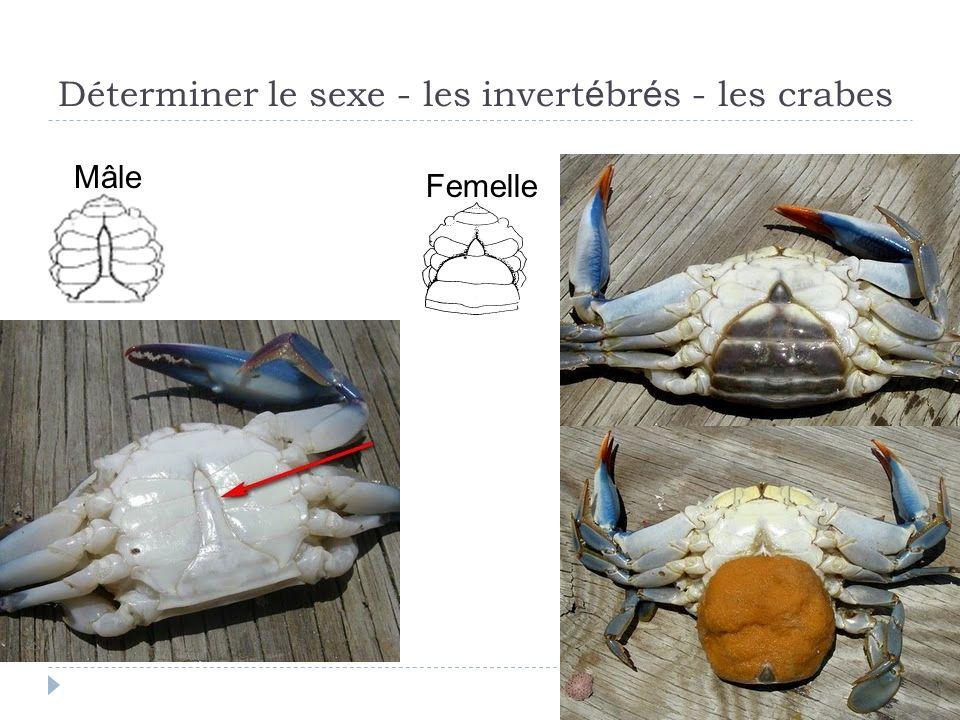 Déterminer le sexe - les invert é br é s - les crabes Mâle Femelle