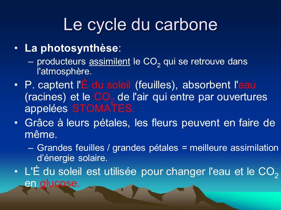 Le cycle du carbone La photosynthèse: –producteurs assimilent le CO 2 qui se retrouve dans l'atmosphère. P. captent l'É du soleil (feuilles), absorben