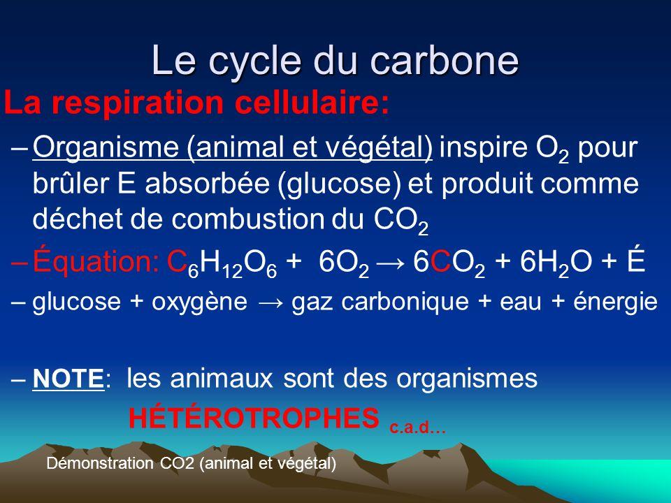 Le cycle du carbone La respiration cellulaire: –Organisme (animal et végétal) inspire O 2 pour brûler E absorbée (glucose) et produit comme déchet de
