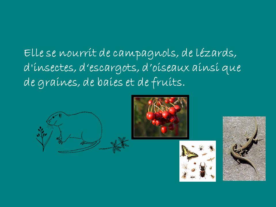 Elle se nourrit de campagnols, de lézards, d'insectes, descargots, doiseaux ainsi que de graines, de baies et de fruits.
