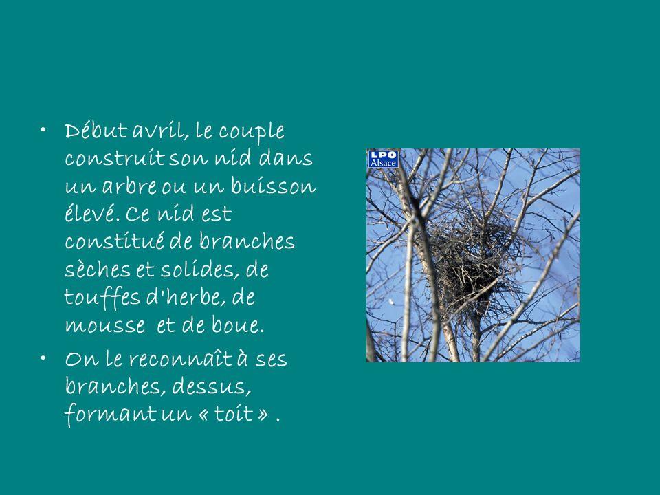 Début avril, le couple construit son nid dans un arbre ou un buisson élevé. Ce nid est constitué de branches sèches et solides, de touffes d'herbe, de