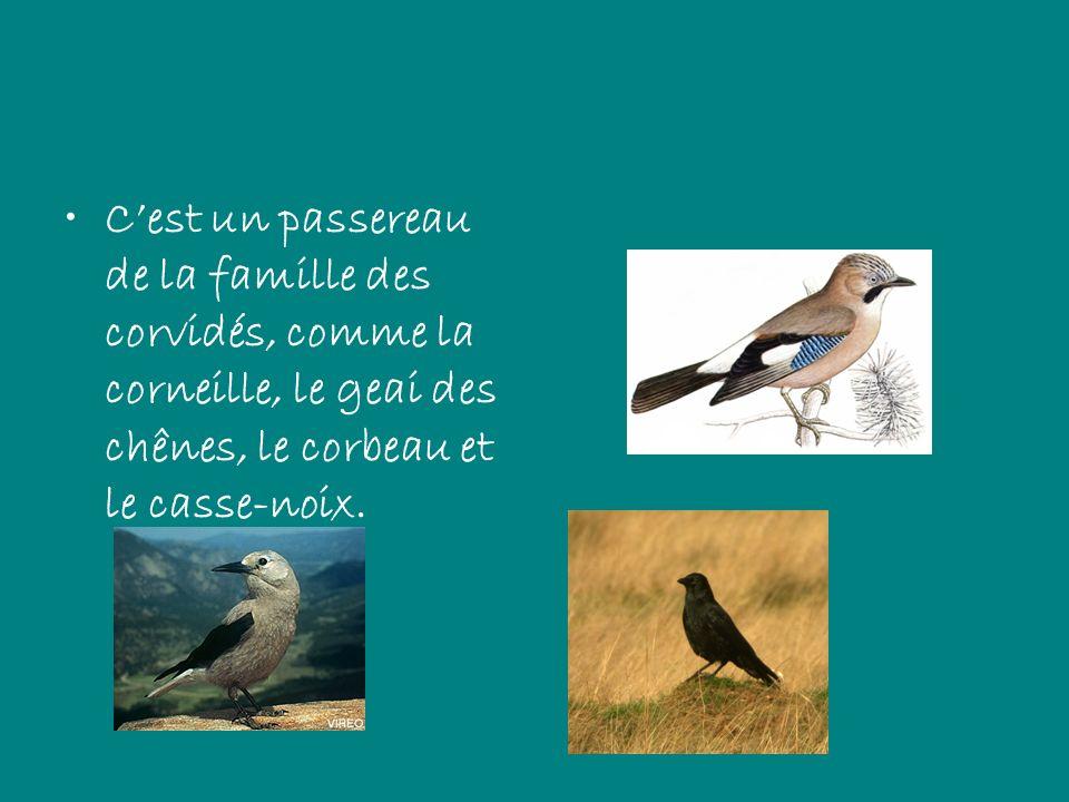 Cest un passereau de la famille des corvidés, comme la corneille, le geai des chênes, le corbeau et le casse-noix.