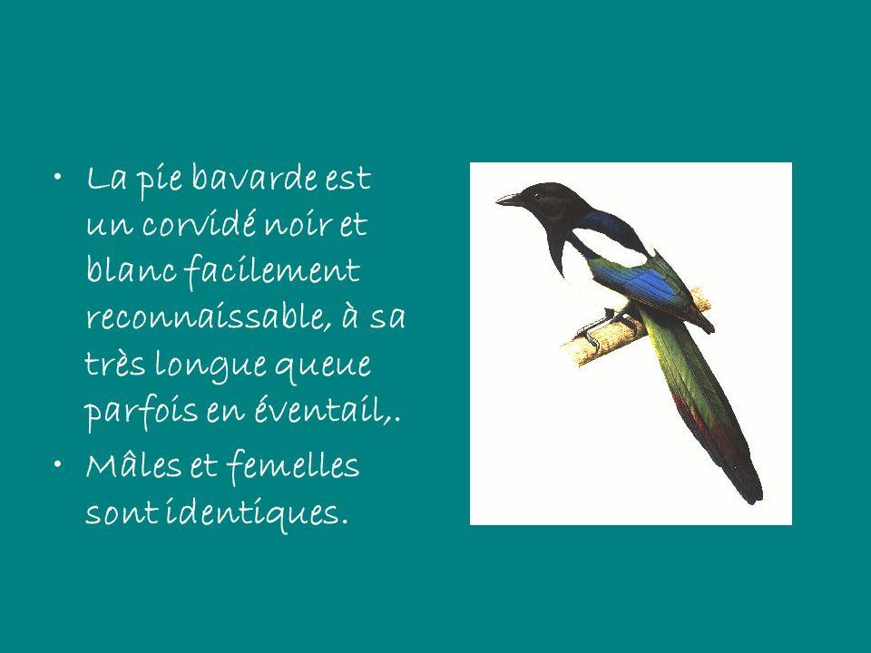 La pie bavarde est un corvidé noir et blanc facilement reconnaissable, à sa très longue queue parfois en éventail,. Mâles et femelles sont identiques.