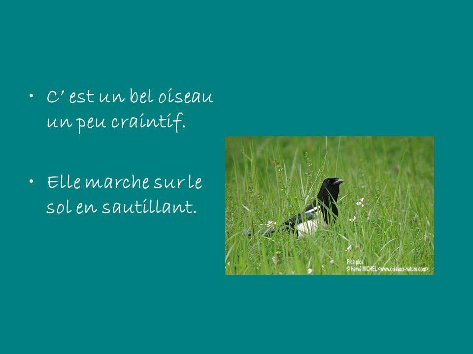 C est un bel oiseau un peu craintif. Elle marche sur le sol en sautillant.