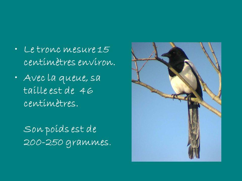Le tronc mesure 15 centimètres environ. Avec la queue, sa taille est de 46 centimètres. Son poids est de 200-250 grammes.