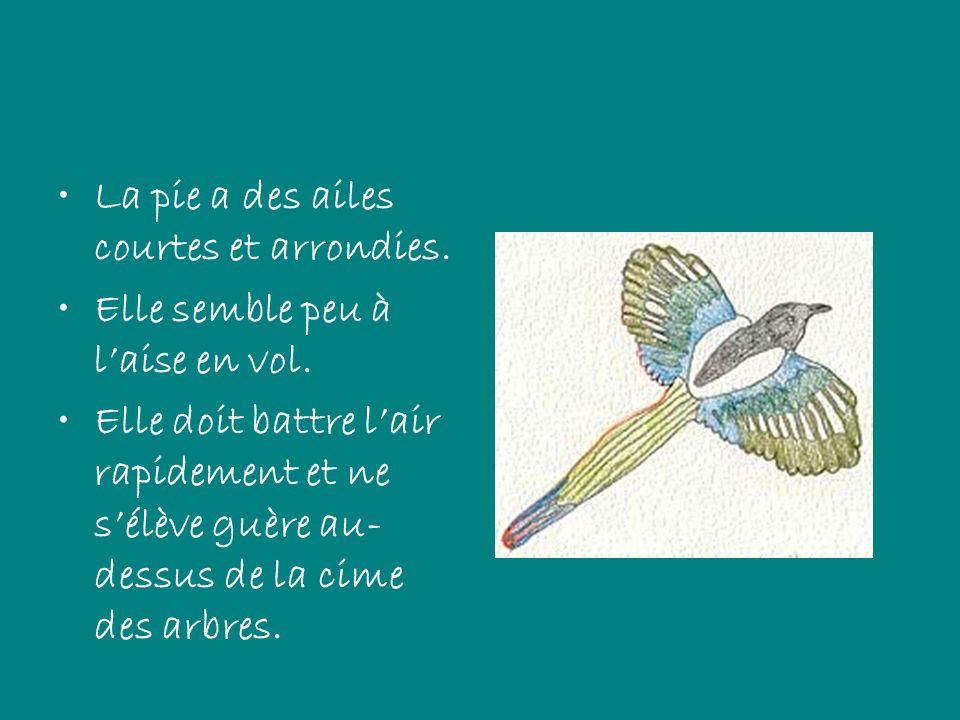 La pie a des ailes courtes et arrondies. Elle semble peu à laise en vol. Elle doit battre lair rapidement et ne sélève guère au- dessus de la cime des