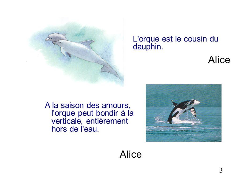 L'orque est le cousin du dauphin. Alice A la saison des amours, l'orque peut bondir à la verticale, entièrement hors de l'eau. Alice 3