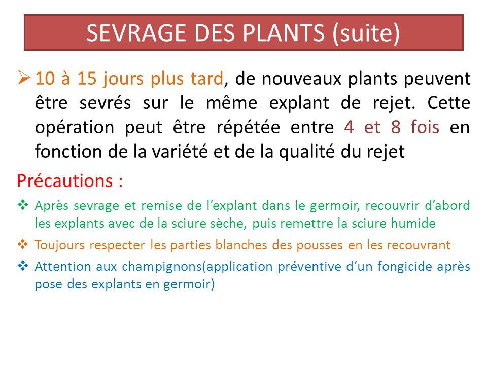 6- sevrage des plants a) premier sevrage Il a lieu 30 à 40 JAG, lorsque les plants ont entre 2 et 5 feuilles ( disposer scalpel ou couteau fin très tranchant ) Sortir les explants du germoir à partir dun coin, détacher la plantule avec une partie du cortex; repiquer dans la sciure les plantules nayant pas de racines, 10 jours après elles sont prêtes pour être repiquées.