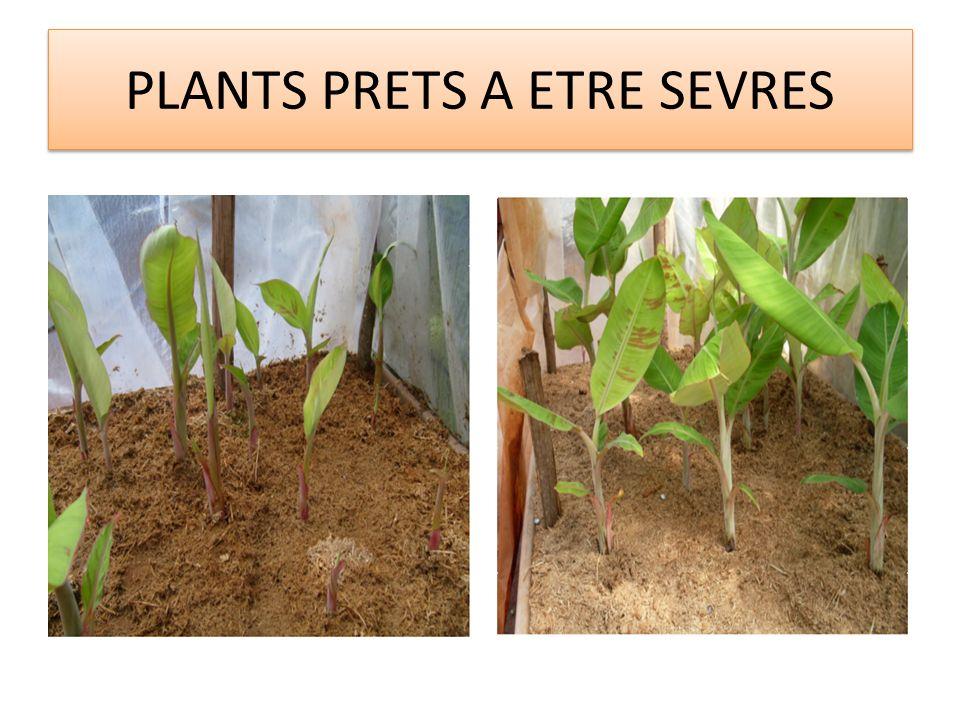 SEVRAGE DES PLANTS (suite) 10 à 15 jours plus tard, de nouveaux plants peuvent être sevrés sur le même explant de rejet.
