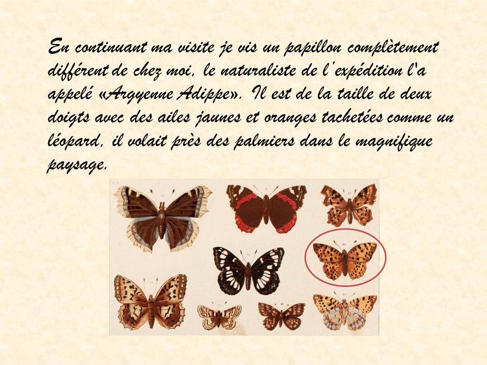 En continuant ma visite je vis un papillon complètement différent de chez moi, le naturaliste de lexpédition l'a appelé «Argyenne Adippe». Il est de l
