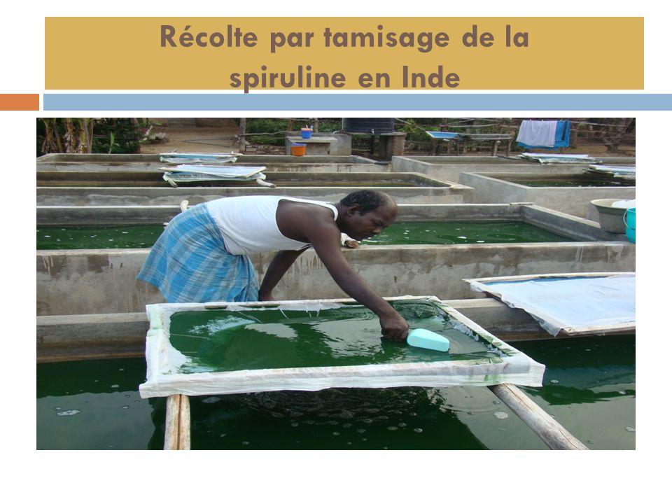 Récolte par tamisage de la spiruline en Inde