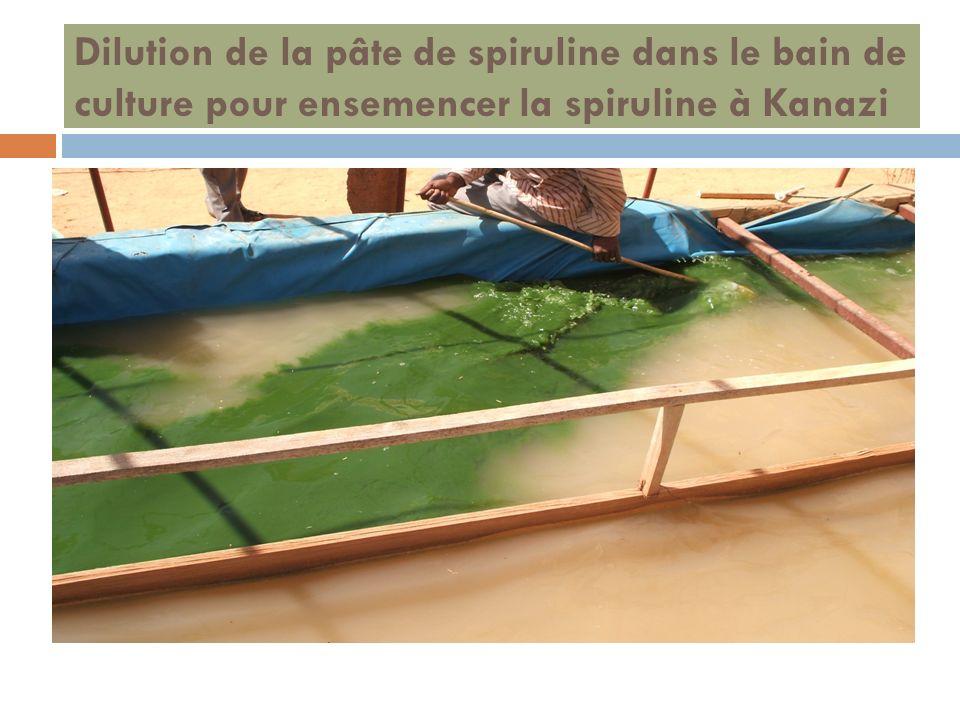 Dilution de la pâte de spiruline dans le bain de culture pour ensemencer la spiruline à Kanazi