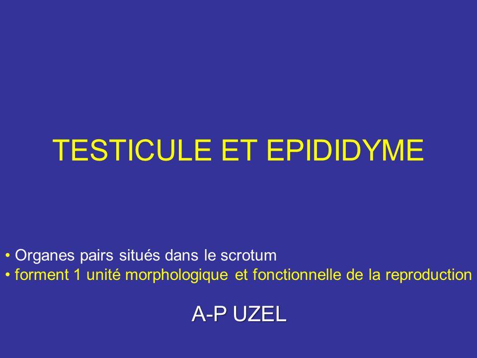 TESTICULE ET EPIDIDYME Organes pairs situés dans le scrotum forment 1 unité morphologique et fonctionnelle de la reproduction A-P UZEL