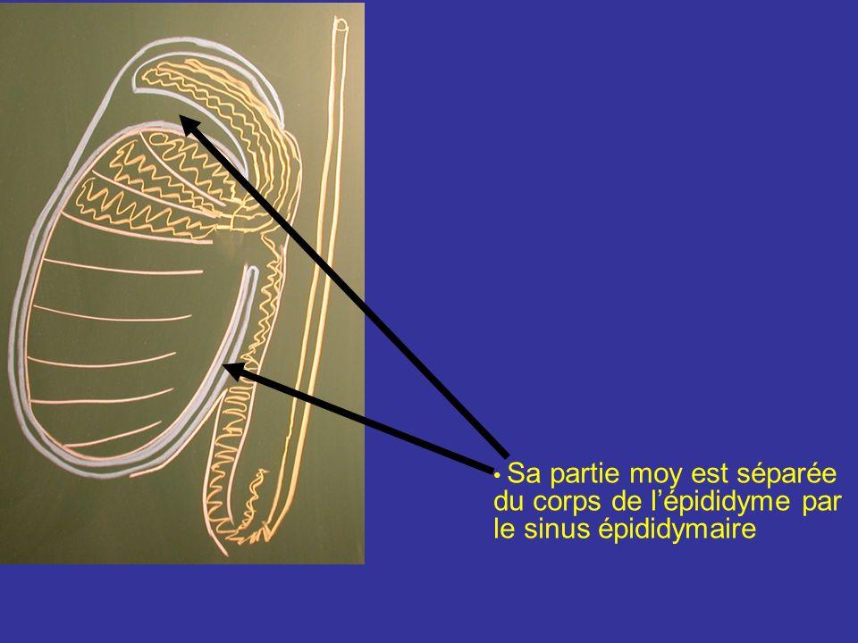 Face latérale Sa partie marginale post répond à lépididyme : En haut unie à la tête de lépididyme par le ligt épididymaire sup En bas est unie à la qu