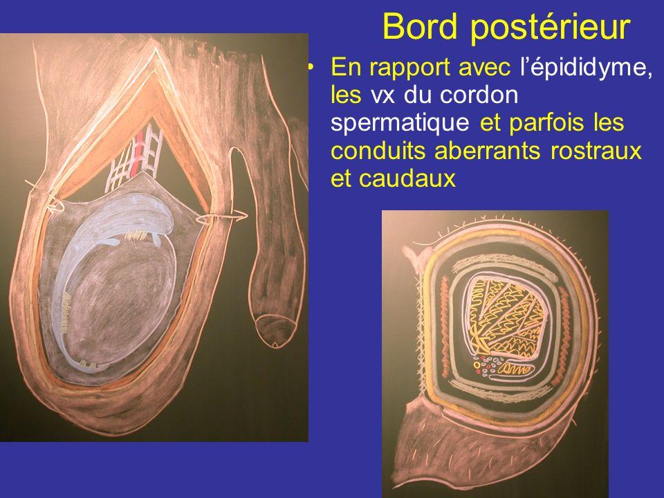 Bord antérieur Répond au scrotum Fascia crémastérique