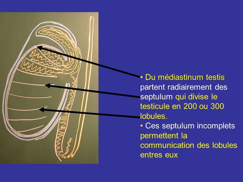 Albuginée = tunique conjonctive épaisse, inextensible, e 1mm. Au niveau du bord post près de lextrémité sup lalbuginée sépaissit formant le médiastinu