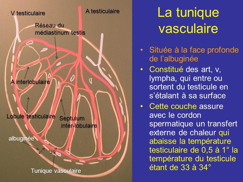 médiastinum testis Du médiastinum testis partent radiairement des septulum qui divise le testicule en 200 ou 300 lobules. Ces septulum incomplets perm