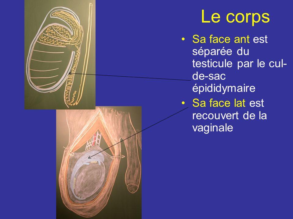 La tête Recouverte par la vaginale et unit au testicule par le mésorchium A son extrémité ant est parfois appendu lappendice épididymaire