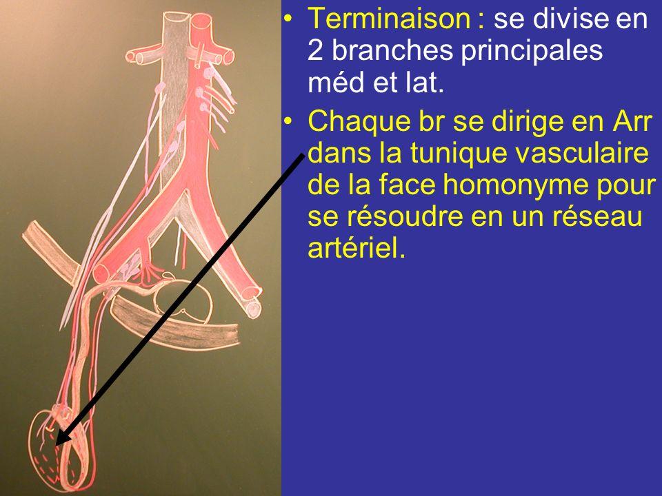Branches collatérales –branche urétérique –lartère épididymaire qui longe lépididyme de la tête à la queue où elle sanastomose avec les art du conduit