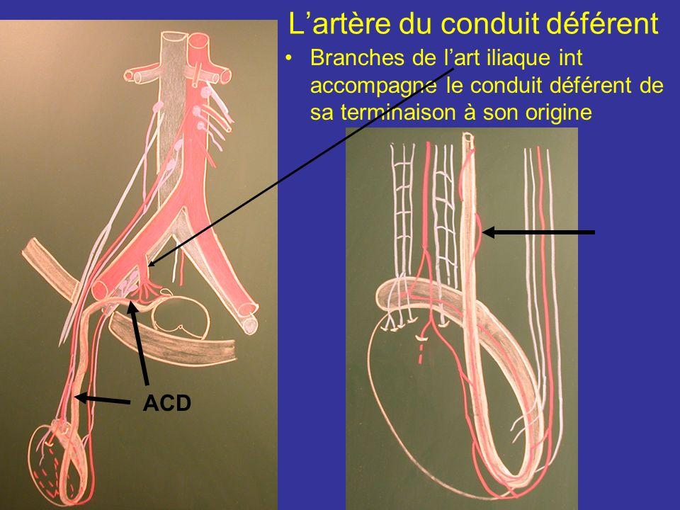 Variations Lartère testiculaire peut naître + haut de laorte ou de lart rénale et navoir quune seule br term Le testicule peut avoir 1 vascularisation