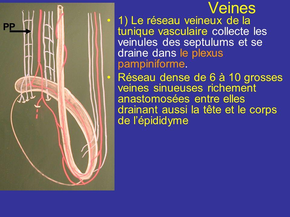 Anastomoses : Lart épididymaire et lart du conduit déférent sanastomosent souvent avec lart crémastérique au niveau de la queue de lépididyme AT AE AC