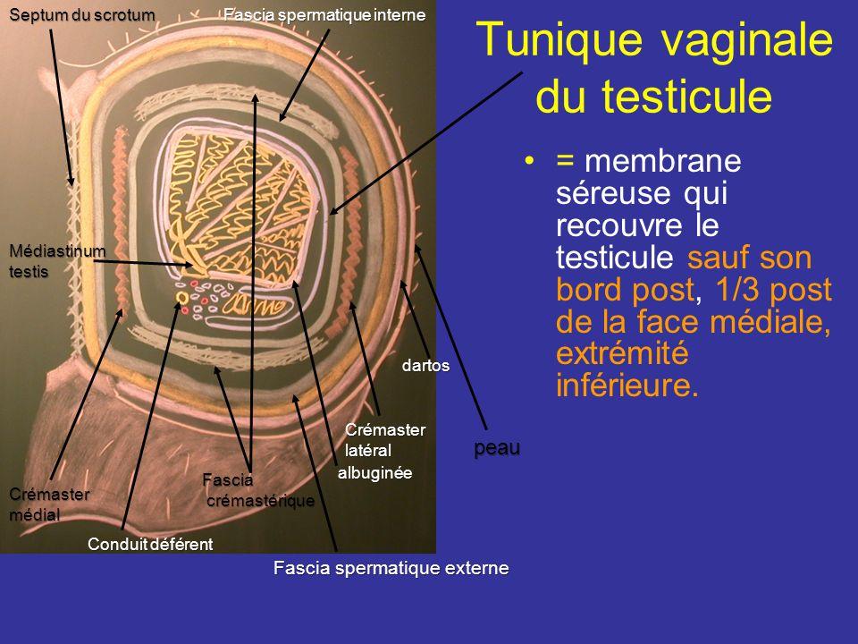 = membrane séreuse qui recouvre le testicule sauf son bord post, 1/3 post de la face médiale, extrémité inférieure.