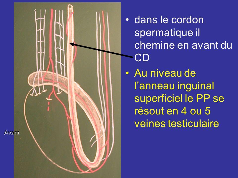 Veines 1) Le réseau veineux de la tunique vasculaire collecte les veinules des septulums et se draine dans le plexus pampiniforme. Réseau dense de 6 à
