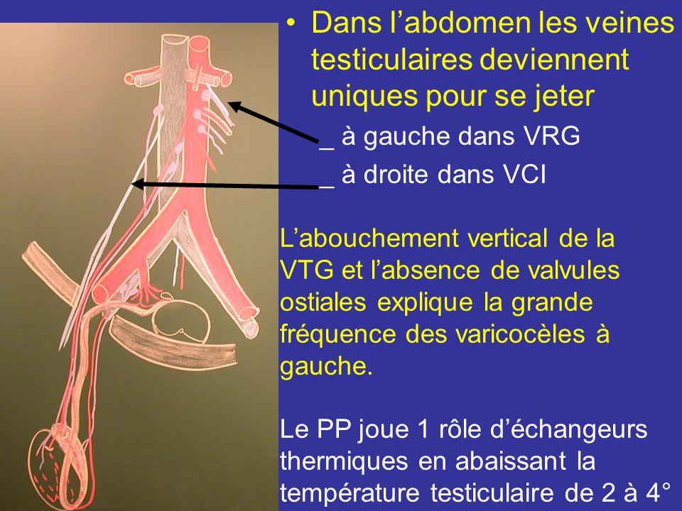dans le cordon spermatique il chemine en avant du CD Au niveau de lanneau inguinal superficiel le PP se résout en 4 ou 5 veines testiculaire Avant