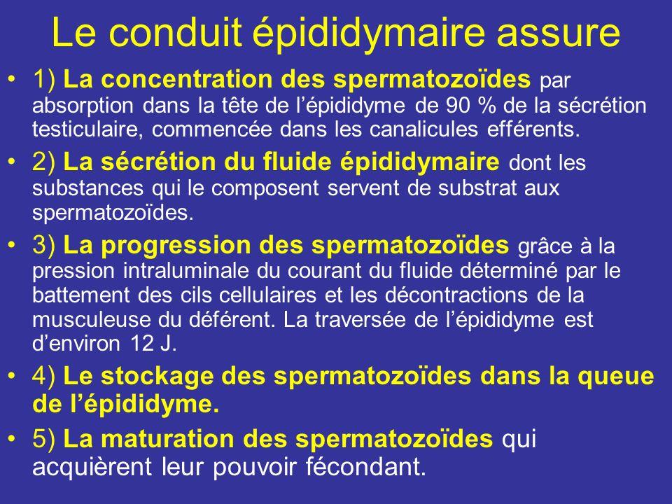 Fonctions endocrines : consiste à élaborer et sécréter de nombreuses hormones: –La testostérone produit par les endocrinocytes interstitiels assure le