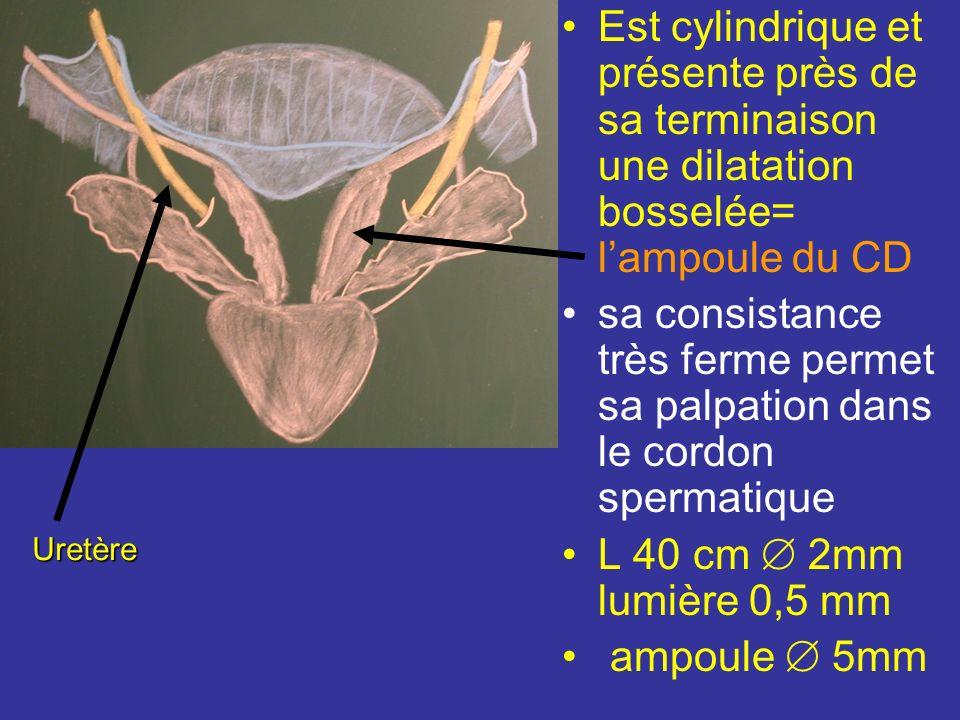 Conduit déférent Fait suite au conduit épididymaire au niveau de la queue de lépididyme et se termine dans la prostate en sanastomosant avec le condui