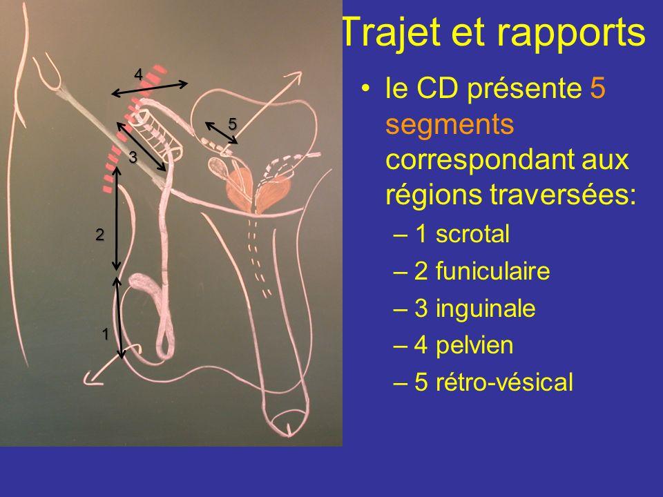 Est cylindrique et présente près de sa terminaison une dilatation bosselée= lampoule du CD sa consistance très ferme permet sa palpation dans le cordo