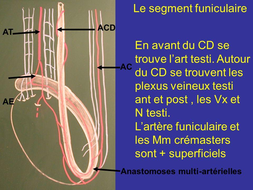 Le segment funiculaire Situé dans le cordon spermatique, montent obliquement et latéralement, au milieu des élts du cordon. Contre le CD chemine son a