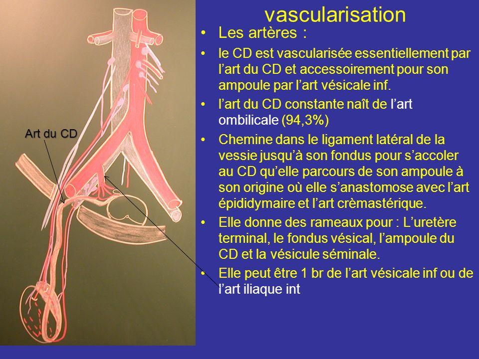 Le segment rétro-vésical Correspond à lampoule du CD Descend médialement contre la base vésicale en longeant le bord médial de la glande séminale. Est