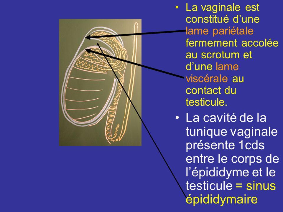 La vaginale est constitué dune lame pariétale fermement accolée au scrotum et dune lame viscérale au contact du testicule.