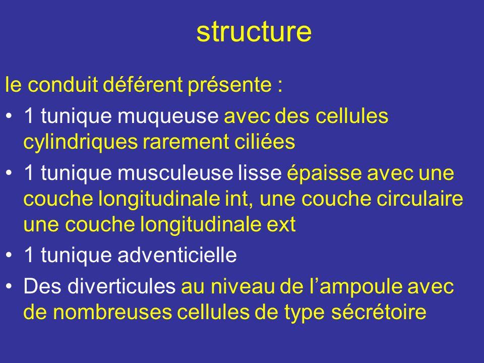 Les nerfs Proviennent du plexus hypogastrique inférieur Les V se draine dans le plexus vésical et le plexus pampiniforme Les V se draine dans le plexu