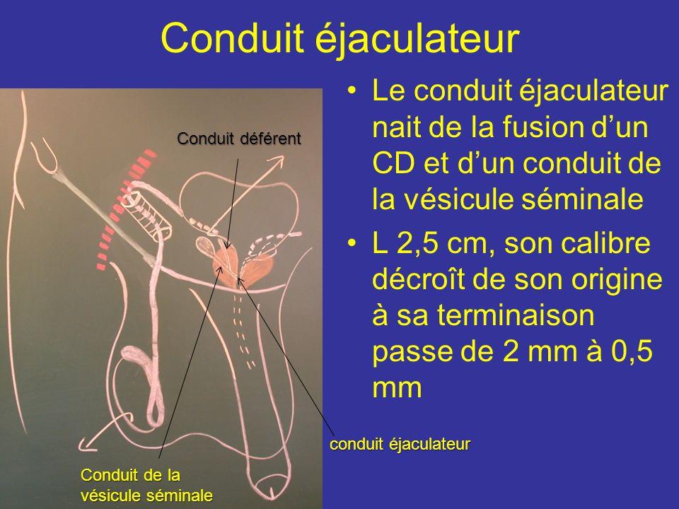 Anatomie fonctionnelle Le CD assure le transport, le stockage des spermato entre les éjaculations et probablement leur maturation. Ce transport est le