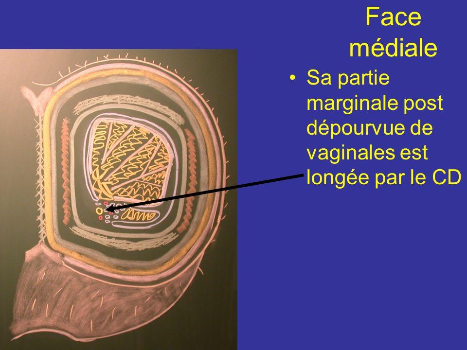 La vaginale est constitué dune lame pariétale fermement accolée au scrotum et dune lame viscérale au contact du testicule. La cavité de la tunique vag