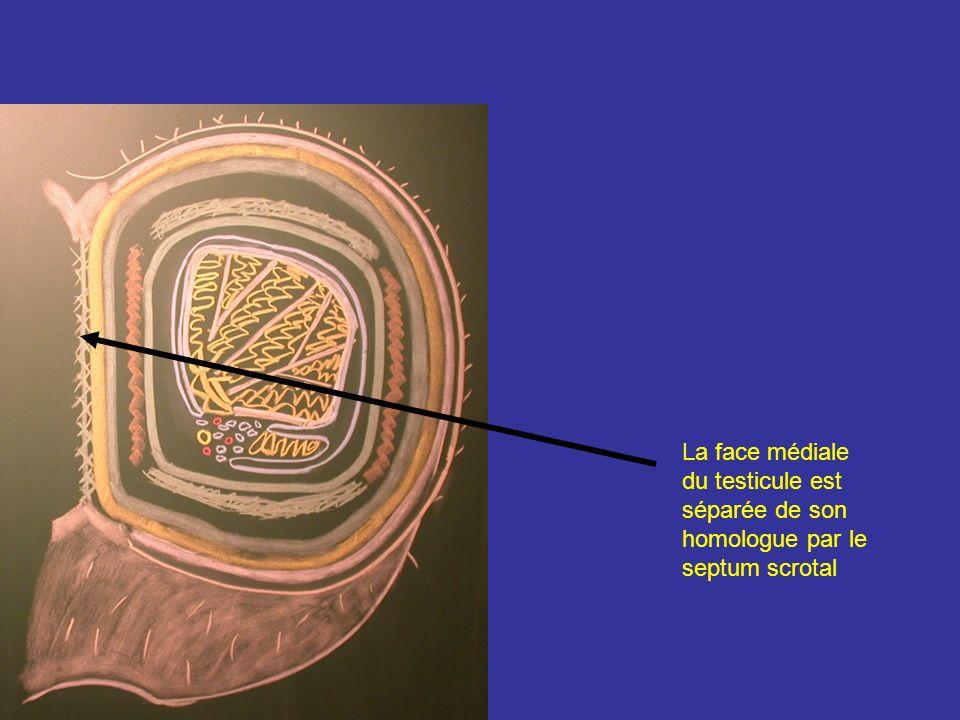 La tunique vasculaire Située à la face profonde de lalbuginée Constitué des art, v, lympha, qui entre ou sortent du testicule en sétalant à sa surface Cette couche assure avec le cordon spermatique un transfert externe de chaleur qui abaisse la température testiculaire de 0,5 à 1° la température du testicule étant de 33 à 34° albuginée Tunique vasculaire A testiculaire V testiculaire A interlobulaire Lobule testiculaire Septulum inter-lobulaire inter-lobulaire Réseau du médiastinum testis
