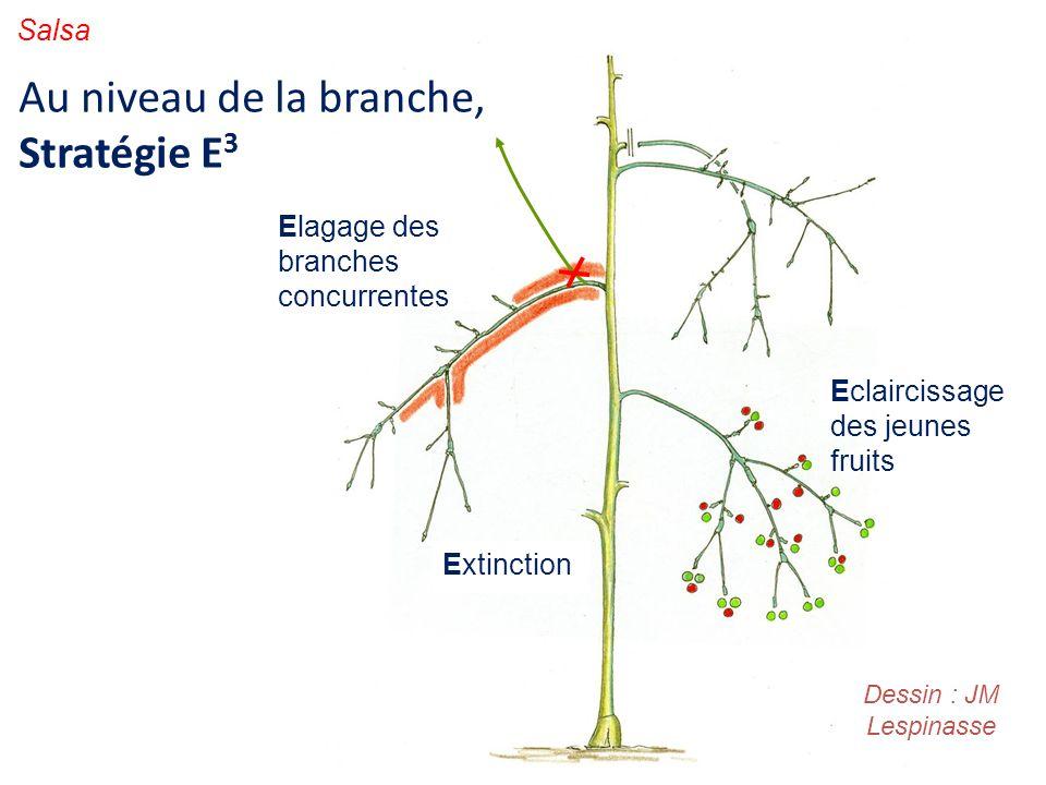 Au niveau de la branche, Stratégie E 3 Elagage des branches concurrentes Extinction Eclaircissage des jeunes fruits Dessin : JM Lespinasse Salsa