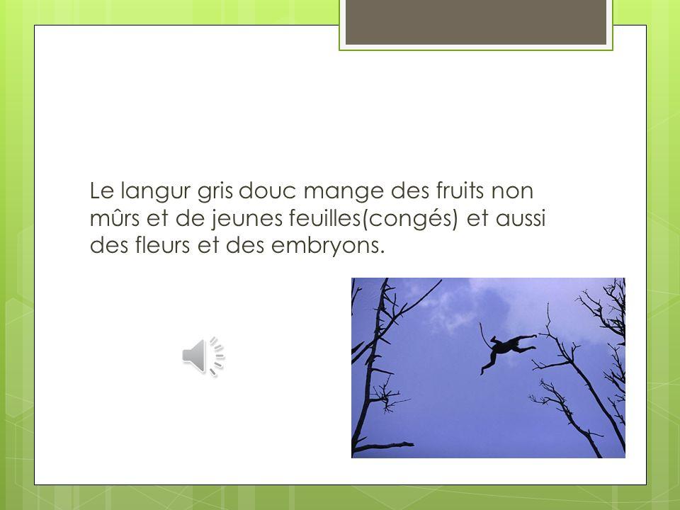 Le langur gris-shanked douc (Pygathrix cinerea) est un langur en voie de disparition qui vit dans le centre du Vietnam. Il a des pattes grises et un g