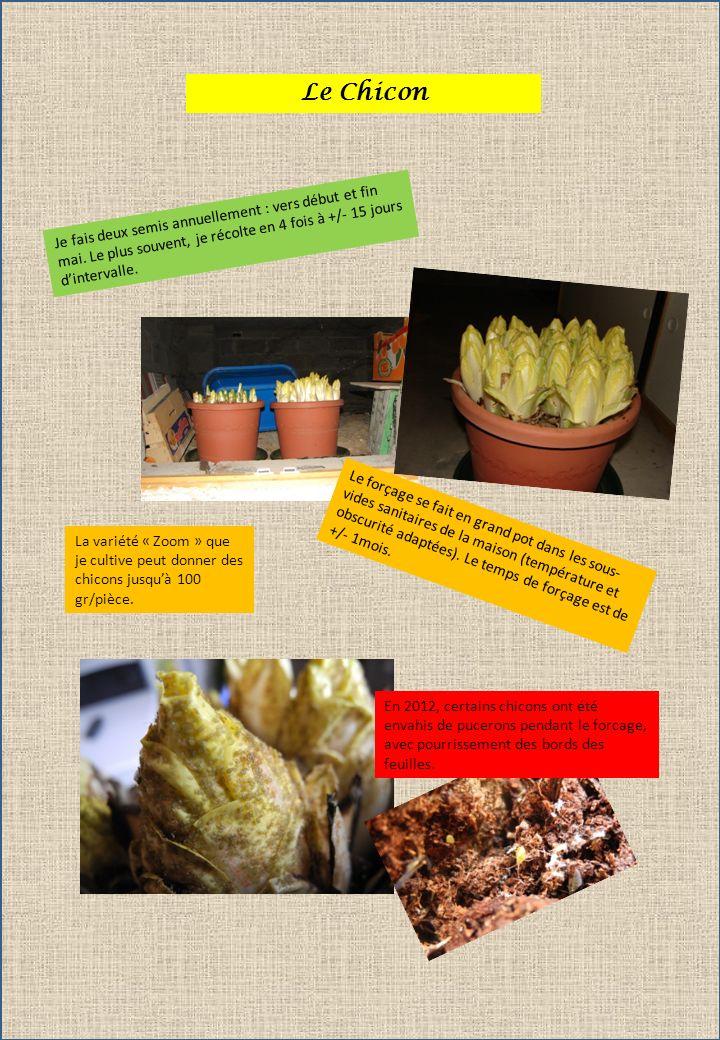 Le Chicon Je fais deux semis annuellement : vers début et fin mai. Le plus souvent, je récolte en 4 fois à +/- 15 jours dintervalle. La variété « Zoom