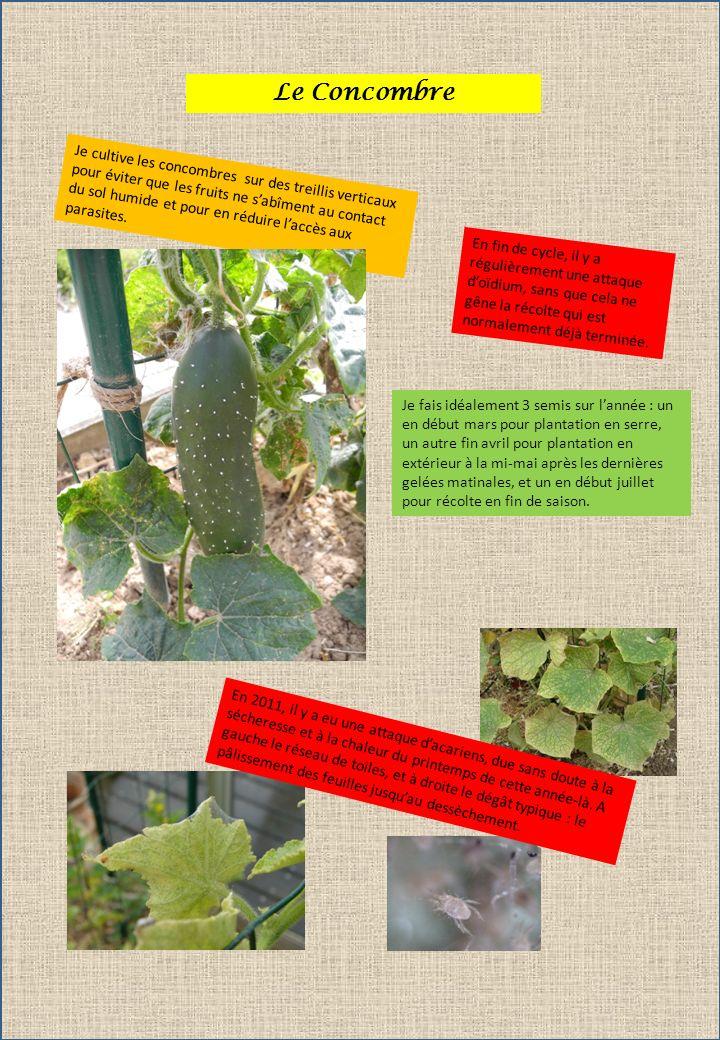 Le Concombre Je cultive les concombres sur des treillis verticaux pour éviter que les fruits ne sabîment au contact du sol humide et pour en réduire l