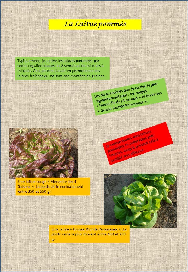 La Laitue pommée Typiquement, je cultive les laitues pommées par semis réguliers toutes les 2 semaines de mi-mars à mi-août. Cela permet davoir en per