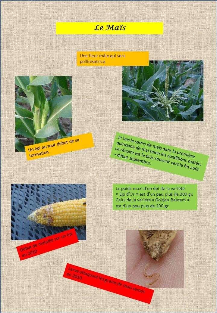 Le Maïs Un épi au tout début de sa formation Une fleur mâle qui sera pollinisatrice Je fais le semis de maïs dans la première quinzaine de mai selon l